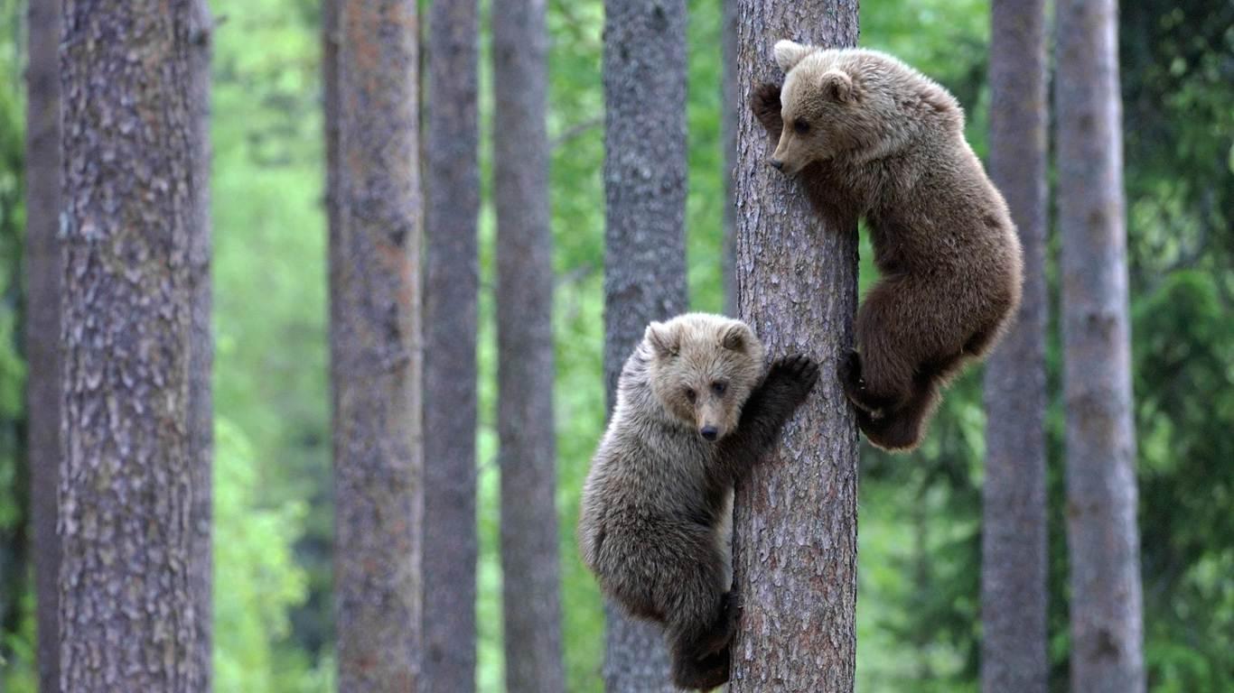 Animal Wallpapers Hd Animal Images Natural Life Wild: Ayı Resimleri En Güzel Ayı Masaüstü Fotoğrafları